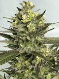 Wet Sugar Pop , feminized