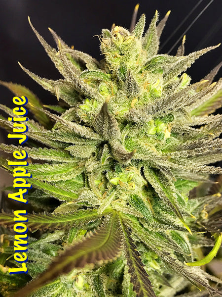 Lemon Apple Juice , feminized