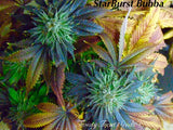 StarBurst Bubba ( feminized )