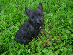 Black Cairn Terrier Cairn Terrier Collectibles