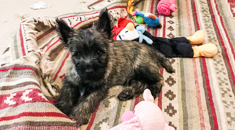 Ripley's Tail - Incoming - Beetle - Cairn Terrier Collectibles