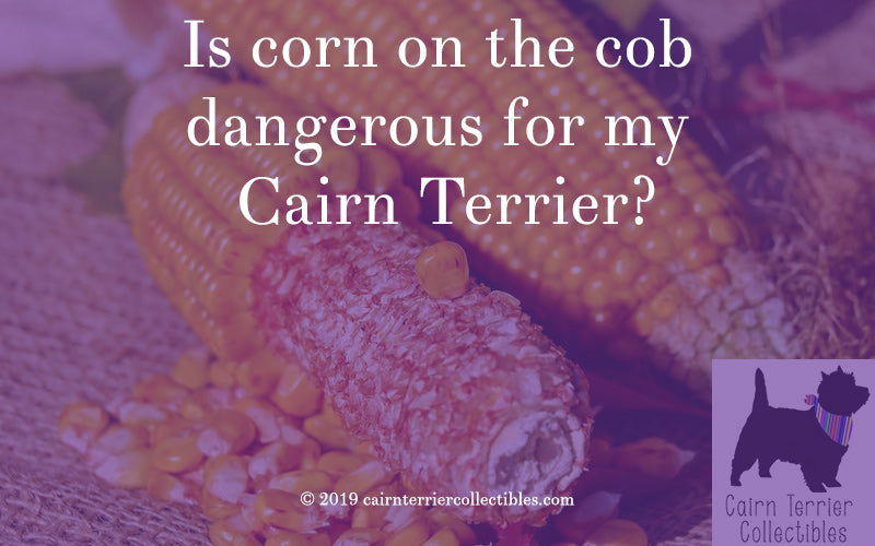 Is corn on the cob dangerous for my Cairn Terrier? - cairn terrier collectibles