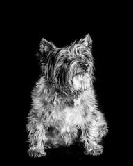 A Cairn Terrier in three words - Cairn Terrier Collectibles