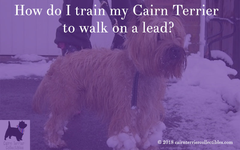How do I train my Cairn terrier to walk on a lead