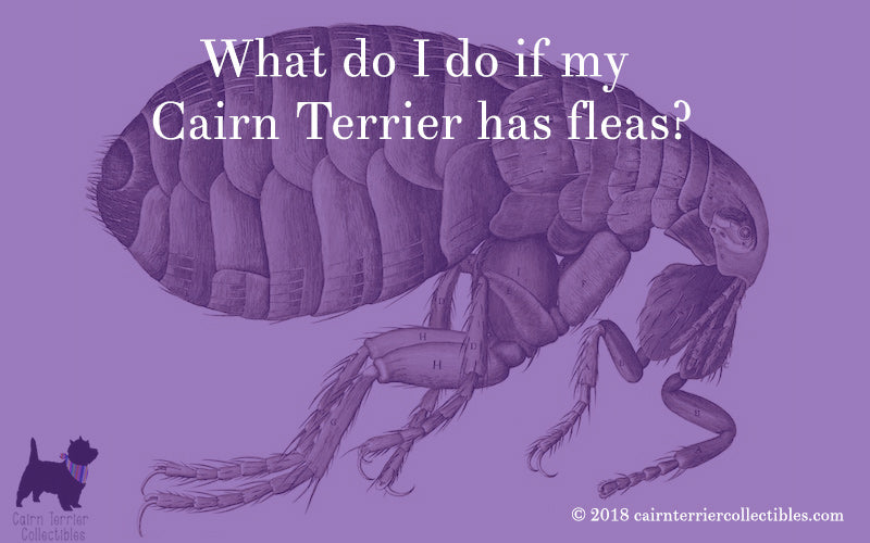 What do I do if my Cairn Terrier has fleas?