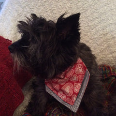 Bella Not Looking Cairn Terrier Collectibles