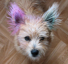 dyed ears cairn terrier collectibles