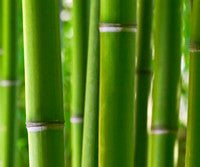 The beauty of bamboo