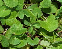 The rejuvenating gotu kola