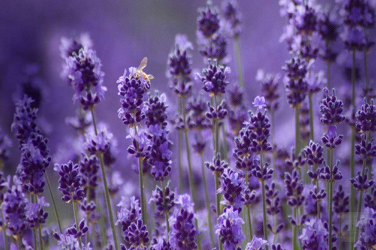 lavender, gentle beauty and quiet strength
