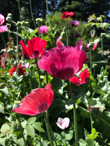 Tanglewood Garden Poppy Seed Mix
