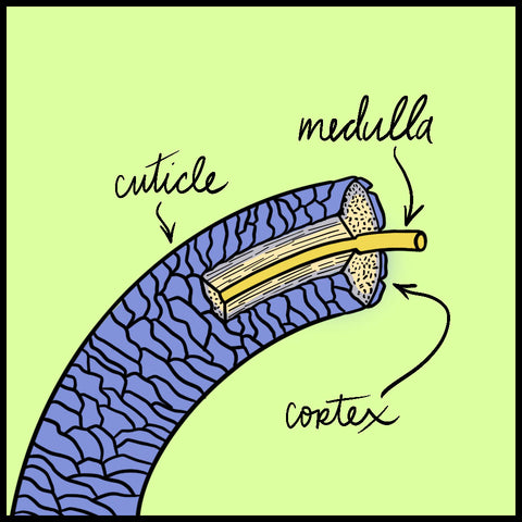 A cross-section of a hair strand, with the medulla, cortex, and cuticle labelled.