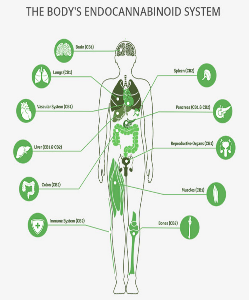 The Endocannabinoid System NZ