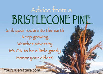 Advice from a Bristlecone Pine Custom Jumbo Magnet