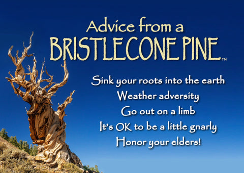 Advice from a Bristlecone Pine Jumbo Magnet