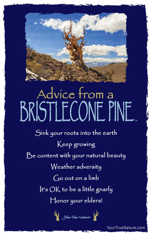 Advice from a Bristlecone Pine Frameable Art Card