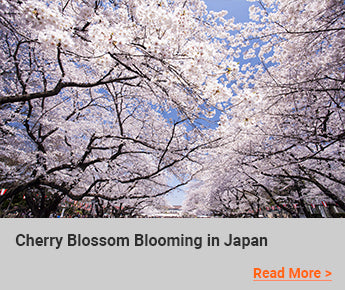 Travelbay Blog - Cherry Blossom Blooming in Japan