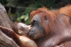 Travelbay Borneo Private Tours - Orang-utans