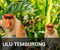 Travelbay Brunei Tailor Made Tours - Ulu Temburong - Proboscis monkey