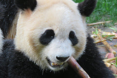 Travelbay China Reviews - Alan Morgan - Panda in Chengdu