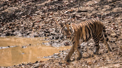 Travelbay Customer Reviews - India Tours - Bandhavgarh - Royal Bengal Tiger