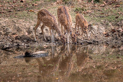 Travelbay Customer Reviews - India Tours - Chital (spotted deer), Kanha