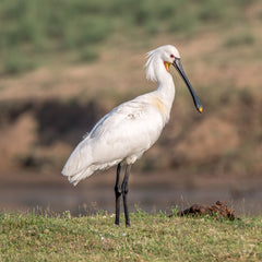 Travelbay Customer Reviews - India Tours - Eurasian Spoonbill, Chambal Safari