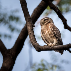 Travelbay Customer Reviews - India Tours - Little Owl, Chambal Safari