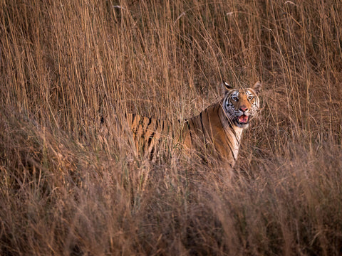 Travelbay Customer Reviews - India Tours - Royal Bengal Tiger, Kanha