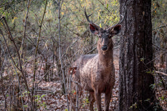 Travelbay Customer Reviews - India Tours - Sambar Deer, Kanha