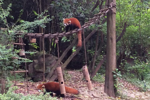 Travelbay Customer Reviews - Ray & Rose Schmidt in China - Red pandas, Chengdu