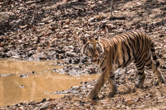 Travelbay India Reviews - Simon Collard - Royal Bengal Tiger