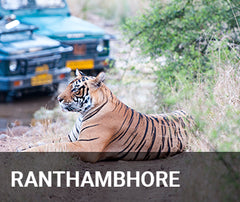 Travelbay India Tailor Made Tours - Ranthambhore - tiger