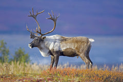 Travelbay Alaska and Canada 16 Day Dream Holiday - Caribou