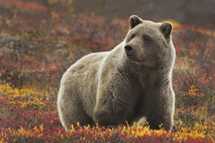 Travelbay Alaska and Canada 16 Day Dream Holiday - Grizzly Bear