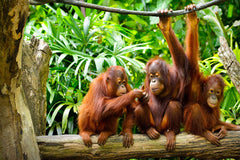 Travelbay Borneo Tours - 8 Day Wildlife Wonderland Adventure - Borneo Small Group Tours - Three Bornean Orangutans