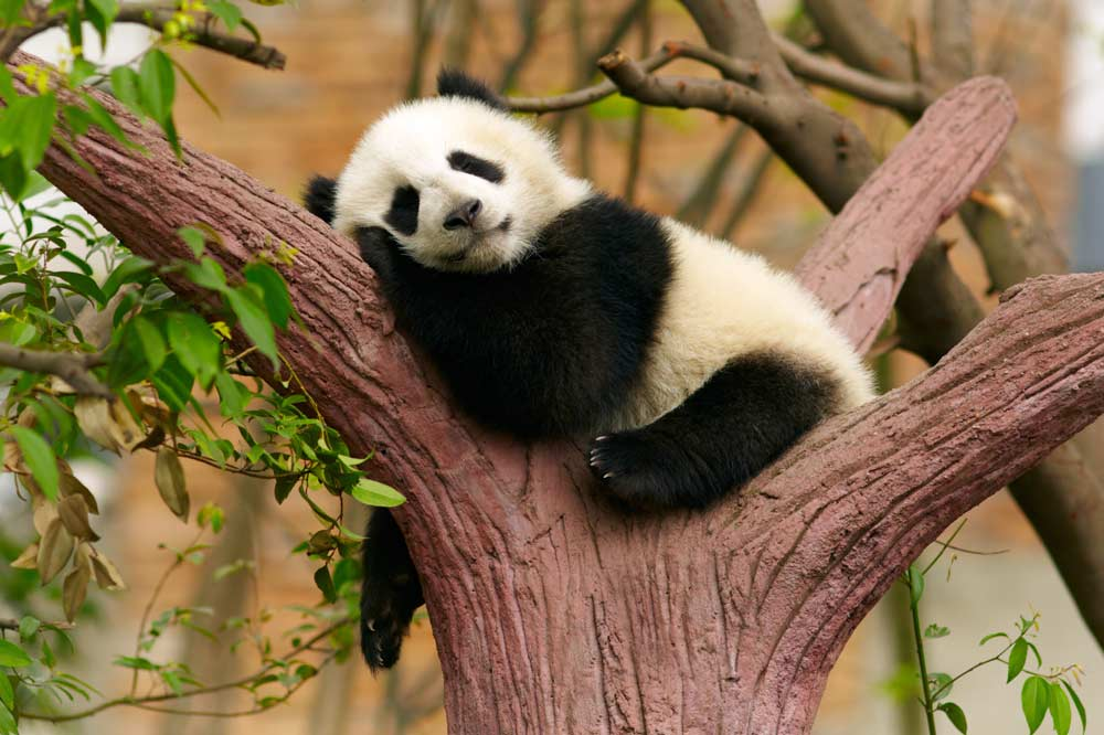 Travelbay China Tours - 13 Day Quintessential Private Tour including 3 Night Yangtze River Cruise - China Private Tours - Panda, Chengdu