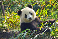 Travelbay China Tours - 12 Day Best of China Private Tour - China Private Tours - Panda, China