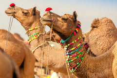 Travelbay India Tours - 9 Day Holiday including Pushkar Camel Fair & Golden Triangle Tour - India Small Group Tours - Pushkar Camel Fair, Rajasthan