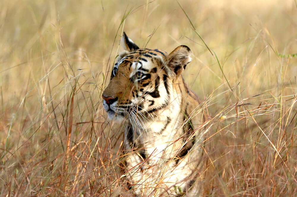 Travelbay India Tours - 9 Day Golden Triangle plus Tigers of Ranthambhore - India Small Group Tours - Tiger, Ranthambhore