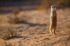 Travelbay Southern Africa Tours - Namibia - 10 Day Highlights of Namibia Private Tour - Meerkat