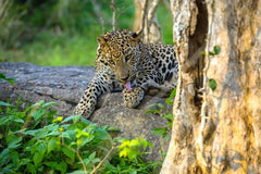 Travelbay Sri Lanka Tours - The Wonders if Sri Lanka in 14 Days - Sri Lanka Private Tours - Leopard, Yala National Park