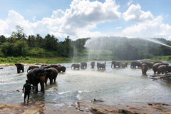 Travelbay Sri Lanka Tours - The Wonders if Sri Lanka in 14 Days - Sri Lanka Private Tours - Elephants at Pinnawala Elephant Orphanage