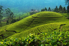Travelbay Sri Lanka Tours - The Wonders if Sri Lanka in 14 Days - Sri Lanka Private Tours - Tea plantation, Nuwara Eliya