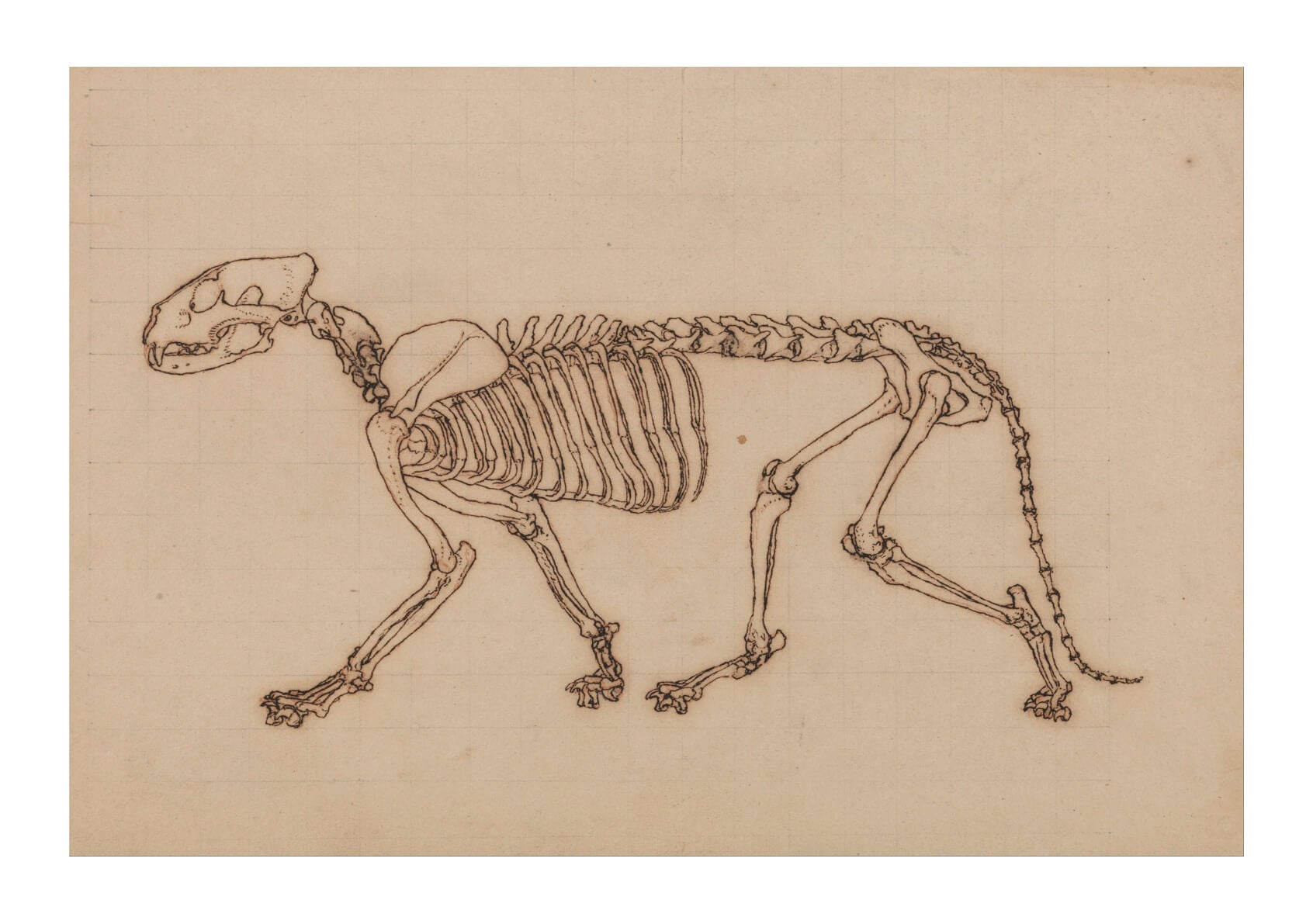 George Stubbs - Anatomical Structure of A Body Dog