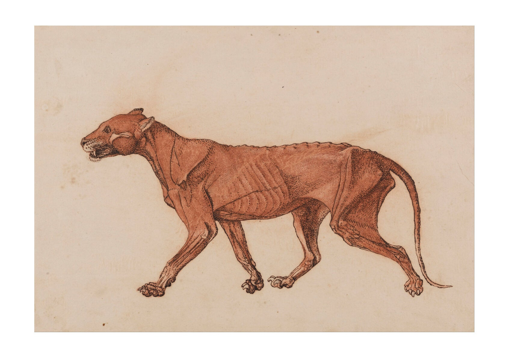 George Stubbs - Dog Anatomical Structure of A Body