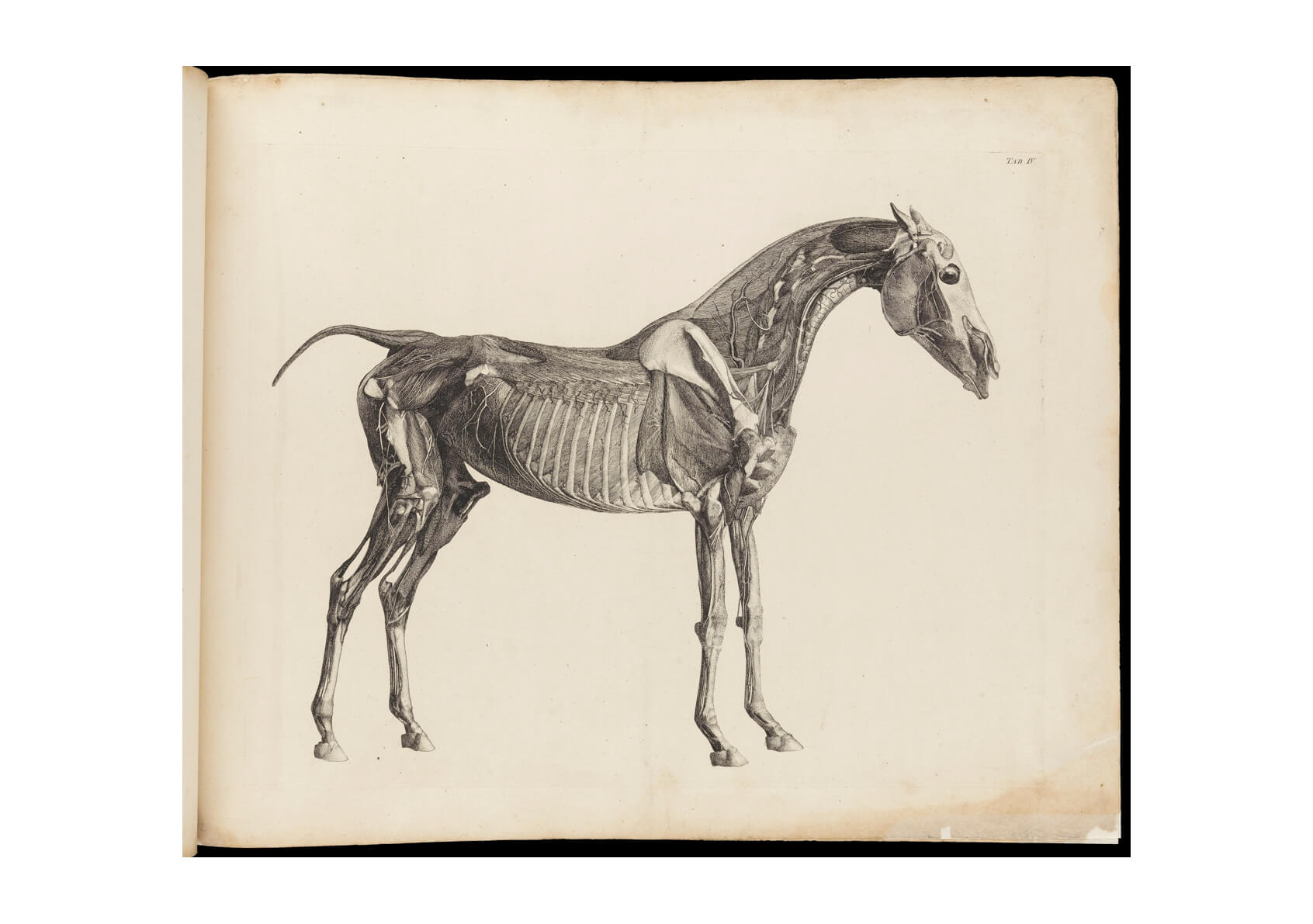George Stubbs - Muscles bones and blood-vessels of a horse