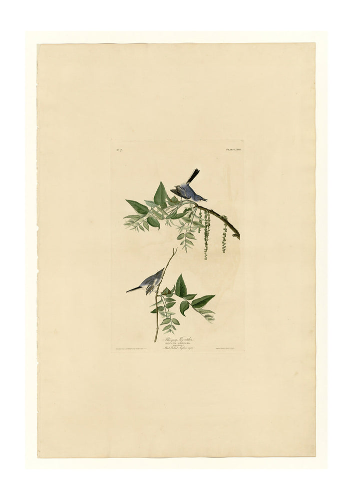 John James Audubon - Blue Grey Fly