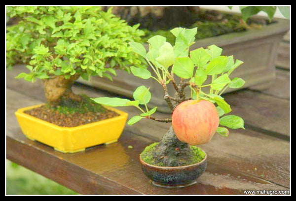 Can you grow fruits on Bonsai Trees? – MahaGro®