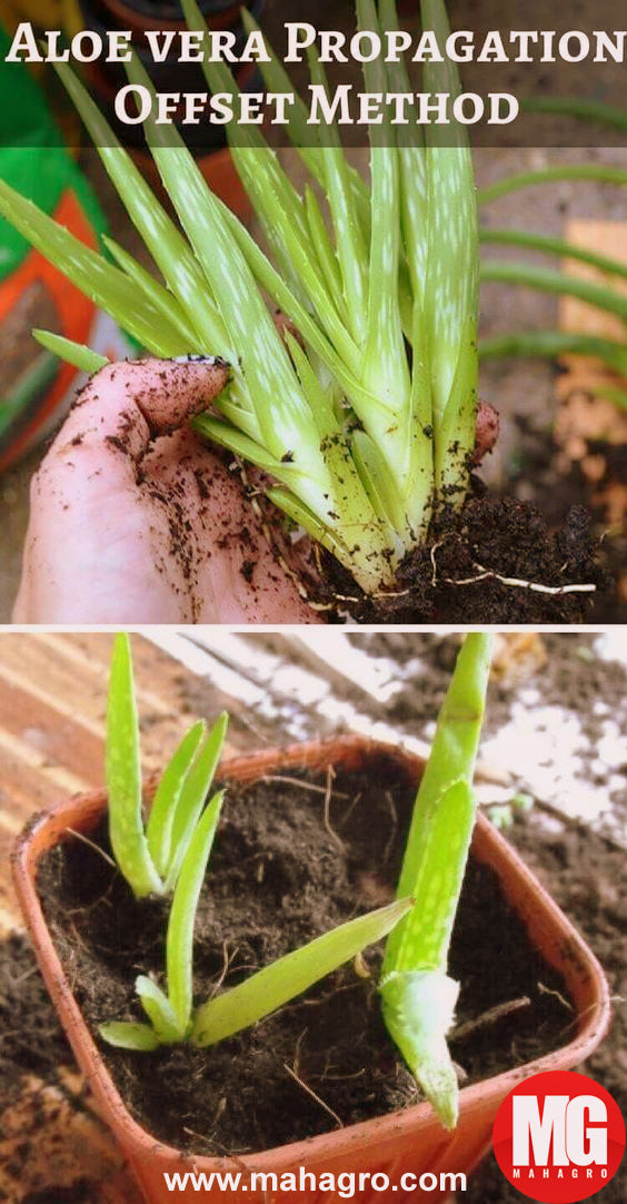 how to grow aloe vera